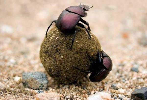 Хлебный жук Кузька-навозник