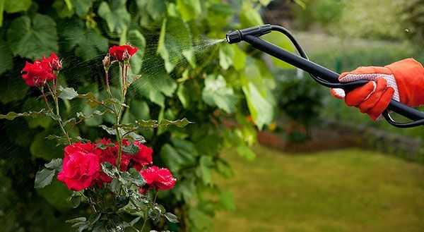 Чем обработать розу от тли