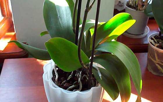 Мучнистый червец на орхидее как избавиться и не допустит в будущем
