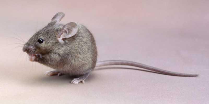 Долго ли живут мыши