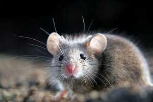 Дикая лесная мышь