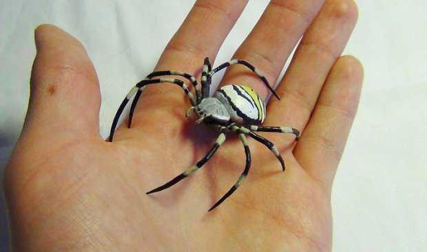 Какой паук похожий на осу