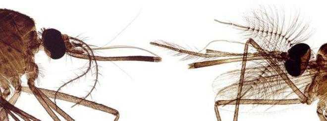 Опасен ли для человека самец комара