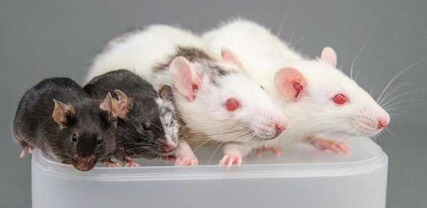Японская мышь