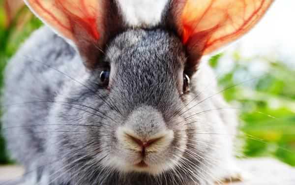 Симптомы и лечение ушного клеща у кроликов