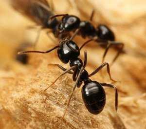От муравьев народные средства в огороде. Как избавиться от муравьев в саду и огороде народными средствами