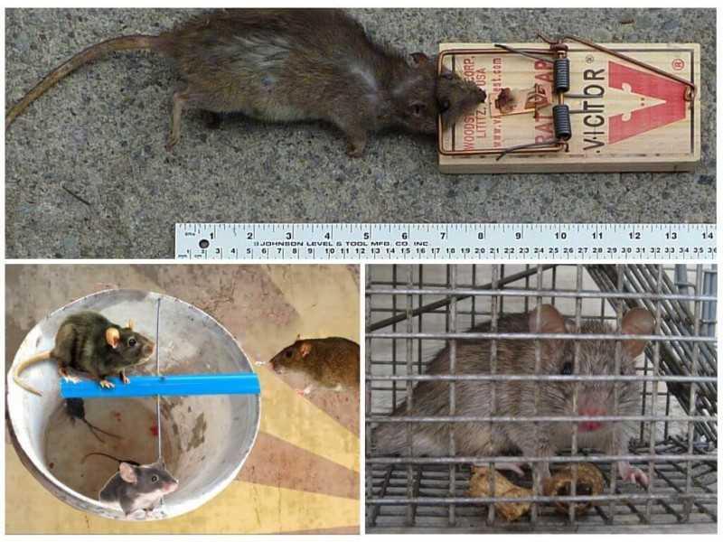 Мероприятия по уничтожению мышей