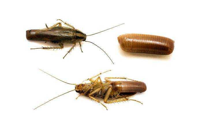 Тараканы обзор видов, что они едят, как избавиться от тараканов