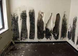Чем опасна черная плесень в доме