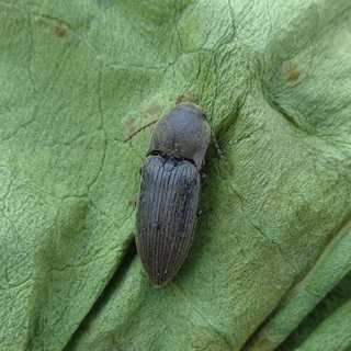 Насекомые-вредители садовые жуки