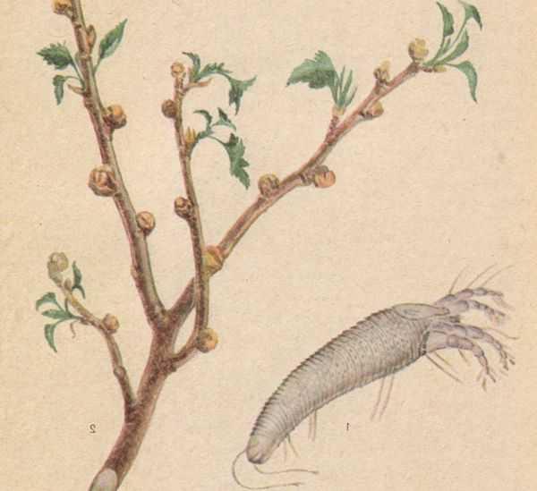Смородиновый почковый клещ симптомы заражения растения и методы борьбы с вредителем