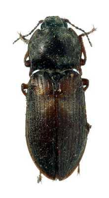 Фотографии жуков-щелкунов с подробным описанием по видам