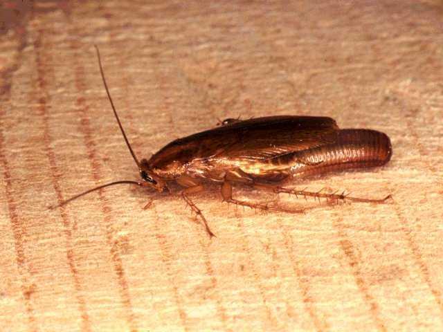 Чем опасен американский таракан