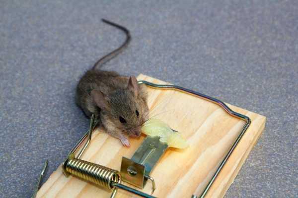 Как обработать подвальные помещения от мышей