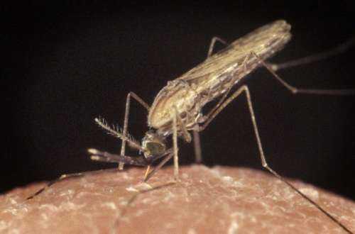 Почему комары пьют человеческую кровь