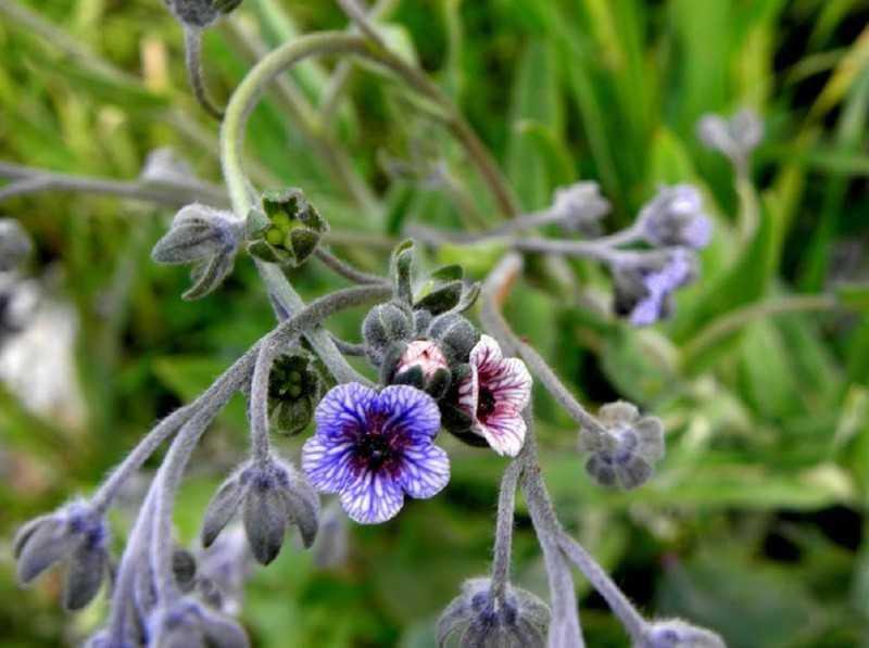 Где растет лекарственная трава чернокорень и чем она полезна