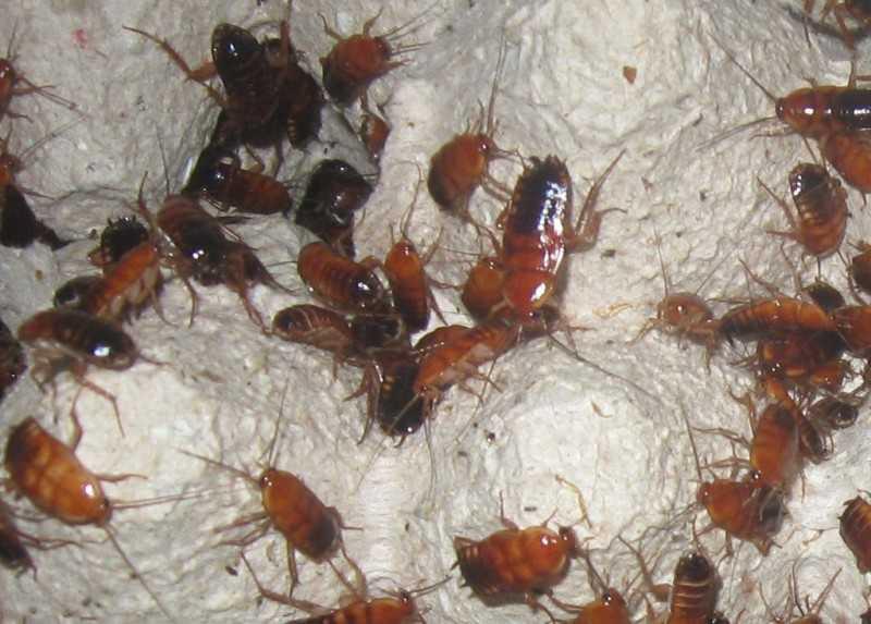 Мадагаскарские тараканы образ жизни и содержание в домашних условиях