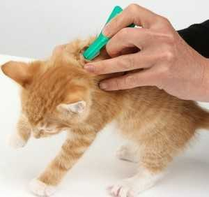 Надежные методы выведения блох у кошек