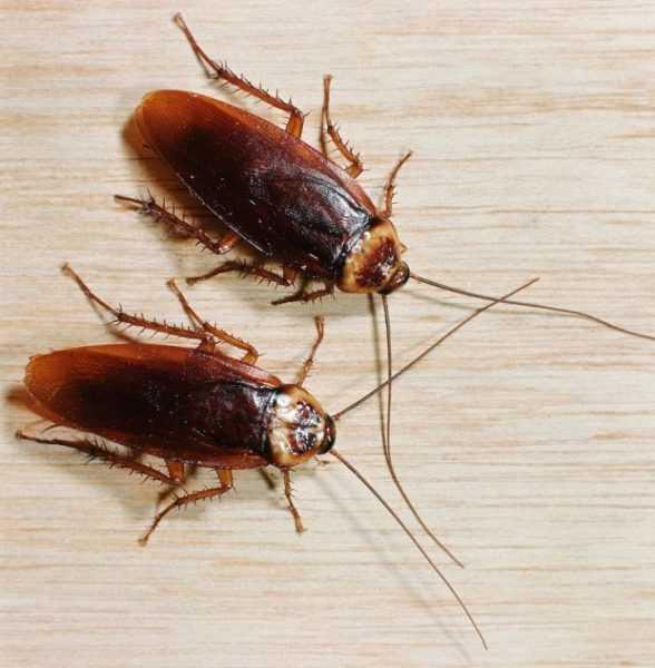 Дезинфекция тараканов