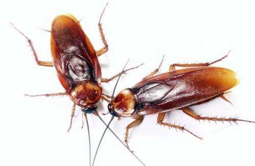Куда пропали тараканы Научные, бытовые и конспирологические версии