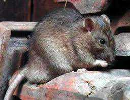 Как избавиться от крыс способы