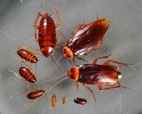 Народные методы и средства помогут забыть о тараканах