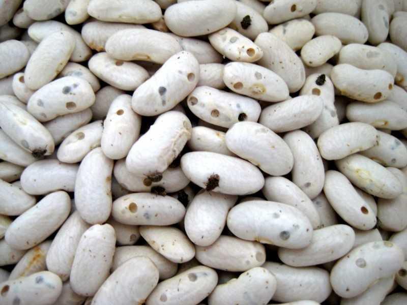 Как хранить фасоль, чтобы не завелись жучки в домашних условиях