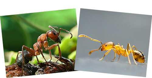 Как выглядит матка домашнего муравья фото и описание
