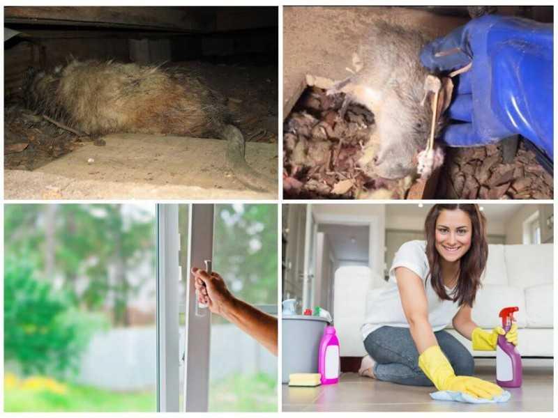 Часто задаваемые вопросы об уходе и содержании декоративных крыс
