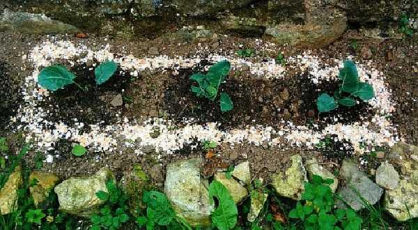 Как избавиться от слизняков в огороде раз и навсегда
