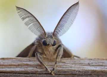 Непарный шелкопряд