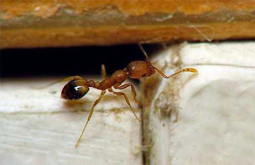 Очень маленькие домашние муравьи. Рыжие муравьи в квартире. Откуда берутся на кухне и в ванной муравьи