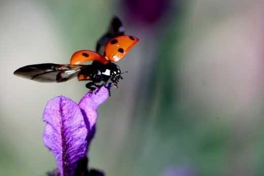 Жук божья коровка виды насекомых, среда обитания, описание