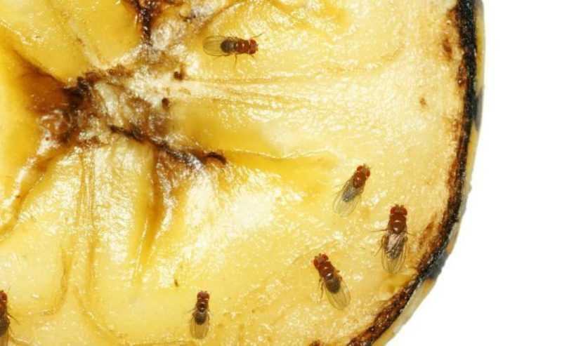 Как появляются мошки на продуктах. Откуда берутся мошки на фруктах и как от них избавиться