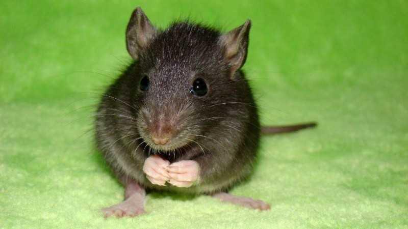 Серые крысы