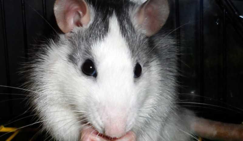 Земляная крыса на участке
