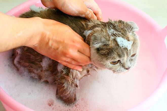 Откуда берутся блохи у домашних котов и кошек Отвечает квалифицированный ветеринар