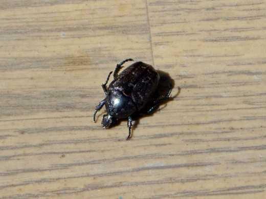 Чем отличается майский жук от июньского