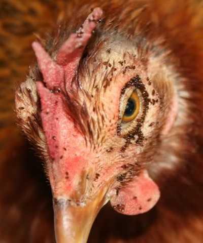 Куриные блохи профилактика и лечение болезни