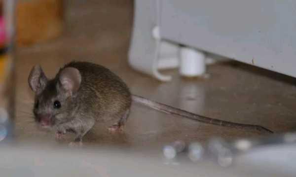 Как эффективно бороться с мышами в квартире, в частном доме или на даче современные ловушки и народные методы