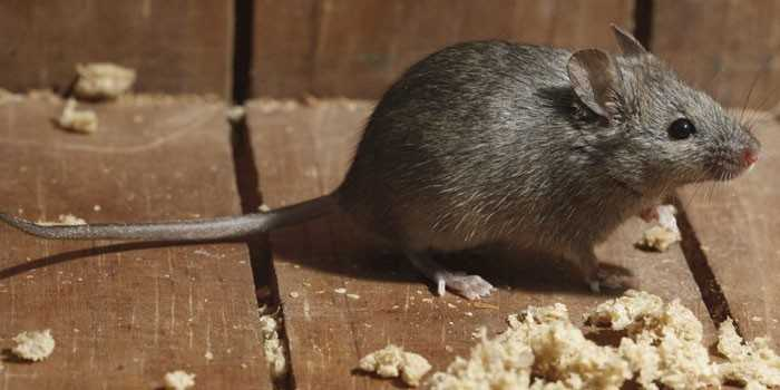 Как избавиться от мышей навсегда гуманные и радикальные методы
