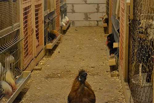 Куриные вши