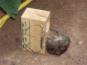 Как поймать крысу в компьютерной игре Бородач