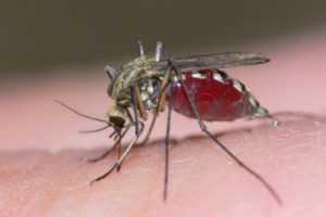 Комар-долгоножка описание, фото. Опасна ли карамора для человека