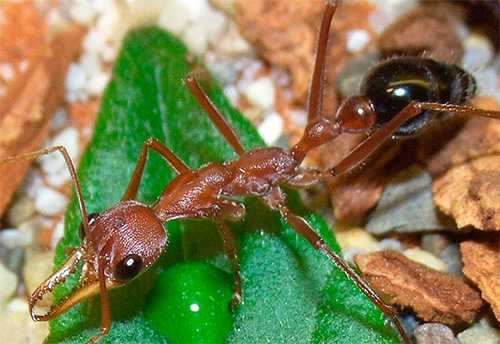 Чем питаются муравьи в природе и в домашних условиях