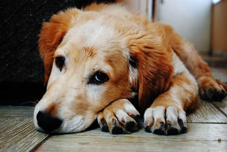 Прививка от пироплазмоза для собак