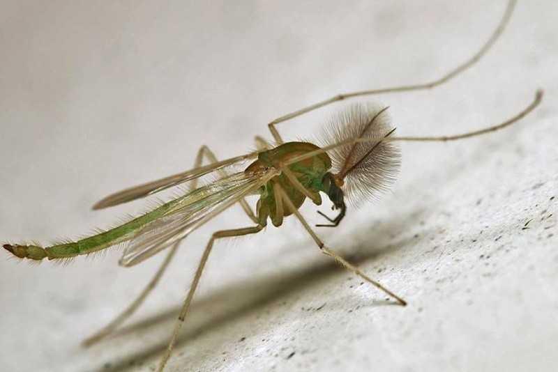 Как размножаются комары жизненный цикл, особенности спаривания
