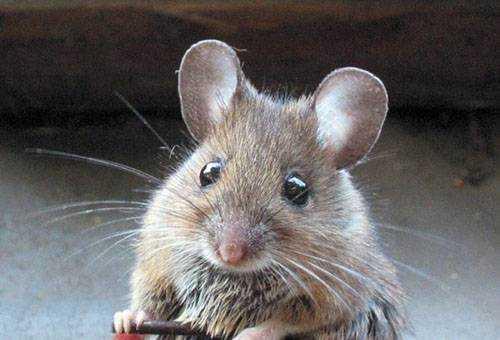 Как избавиться от мышей в частном доме, на дачном участке и в квартире Обзор эффективных средств