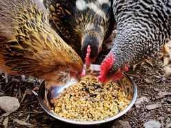 Чем травить куриных блох