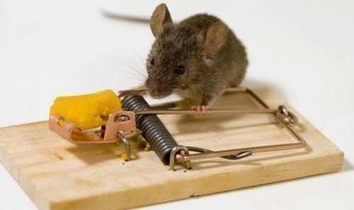 Как зарядить мышеловку пошаговая. Правильно заряжаем и устанавливаем ловушку для мышей. Разновидности мышеловок, изготовленных самостоятельно